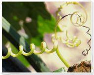 incredible vine tenacity